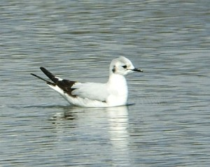Larus minutus juv little gull bird 300x239 And speaking of animals