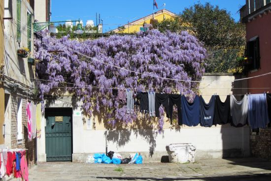 And despite all the rain in March, the wisteria has come out right on time.  Along with the laundry, and the trash.