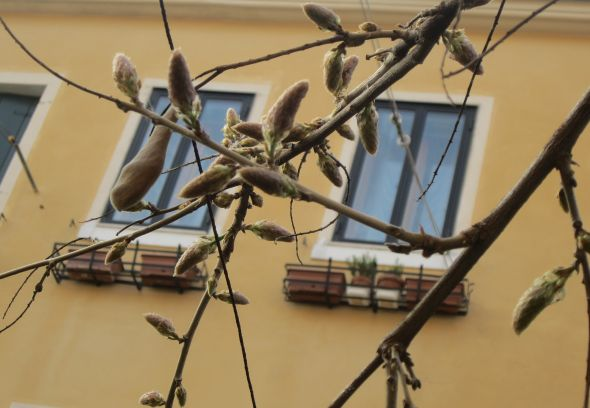 Wisteria getting ready to burst.