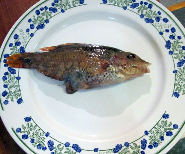 The pesce persico (Tinca tinca, or tench) doesn't loom particularly  large in Venetian cooking -- it doesn't loom large, period -- but anything that's in the lagoon is fair game.  And as you see, the lagoon is crammed with fish.