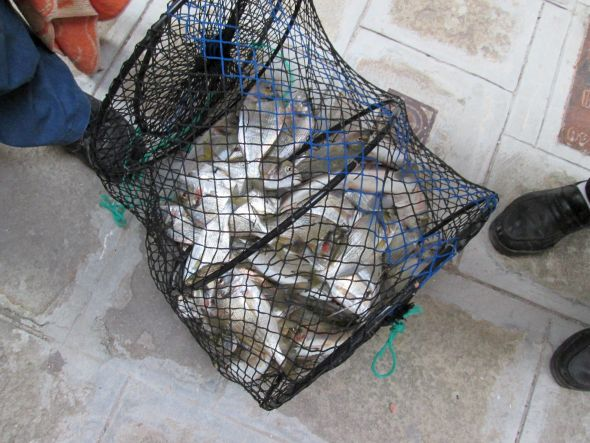 The other day G. hauled home an estimated 20 kilos (20 pounds) of gilthead bream, and a surprise.