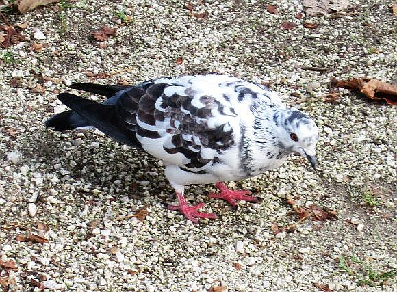 Your average feral rock pigeon is kind of loathsome, but this bird seems to have been created by a Persian calligrapher.