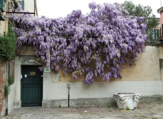 This is not a cretinata tree, it's one of the most amazing wisteria trees in a neighborhood billowing with wisteria.  I wait for it all year.
