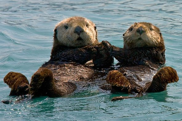 Here are some sea otters.