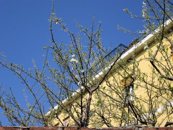 "This plum tree -- specifically ""baracocoli"" -- is a little behind the blooming curve. Its cousin near the Giardini vaporetto stop is already finished with flowering."