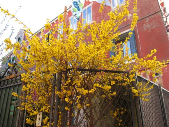 I grew up in Ithaca, New York, where it snows from October to April (more or less). At a certain imperceptible signal the city is swathed in forsythia, so of course I took it totally for granted. Now I watch this corner every spring for this burst of glory. It's not nostalgia, exactly. I'd love this even if I'd grown up in Rochester (lilacs).