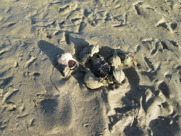 Speaking of eating -- as one does -- we came across a few dauntless sea snails making a meal of a crab. Whatever birds passed by either couldn't manage it, didn't like it, or were driven away by the snails.