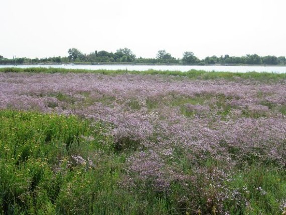 "There is a brief period in later summer when the wetlands are carpeted with a form of heather commonly called ""erica"" (Calluna vulgaris). It should not be picked. But if for some reason it were to be picked, it stays beautiful as a dried flower for almost forever. I've been told. This photo was made a week ago, but I know the blooms are gone by now."